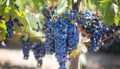 druivenpittenextract